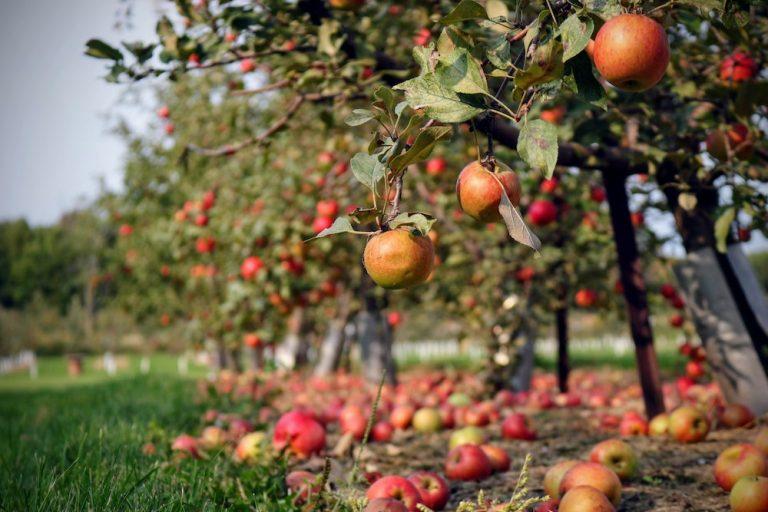 arbres fruitiers pommiers verger