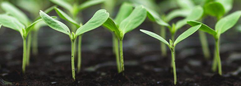 lignes de semis en attente de repiquage