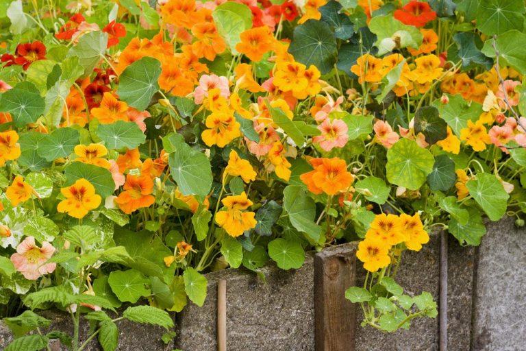 fleurs de capucines
