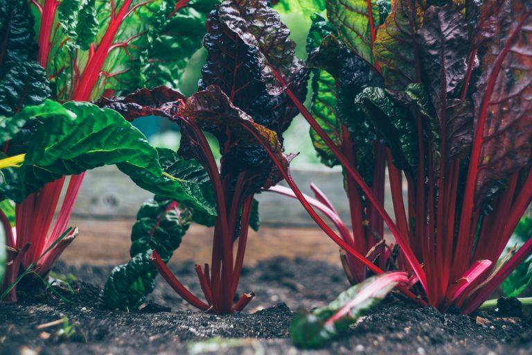 blettes jardin nourricier eau