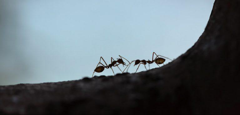 fourmis colonisatrice fourmilière vie des fourmis